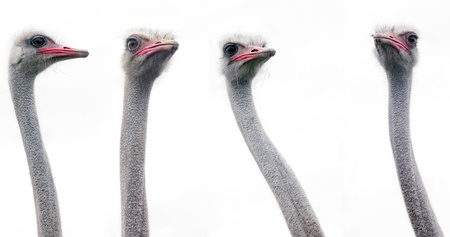 The four ostrich heads on a white background