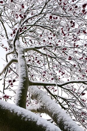 The rowan tree in winter covered with snow photo