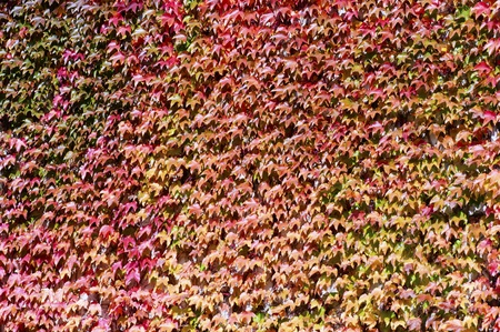 The ivy covering the wall in the fall photo