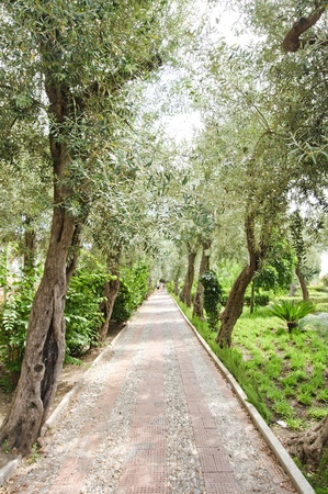 Avenue of olive trees lining the pavement in the park photo