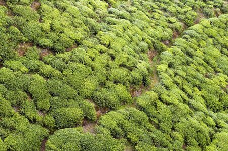 Closeup of patterns from trees on a tea plantation photo