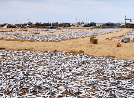 Drying fish on the sandy seashore, sri lanka photo