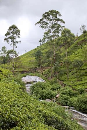 Shot of the countryside with tea plants photo