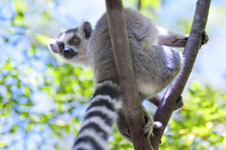 Ring-tailed lemur sitting on a branch and looking down photo