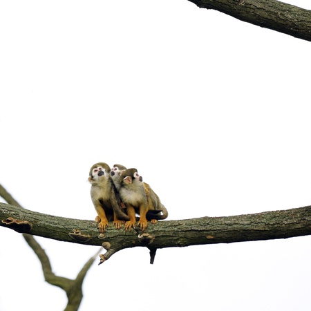 melee: Common Squirrel Monkeys sitting on a branch Stock Photo