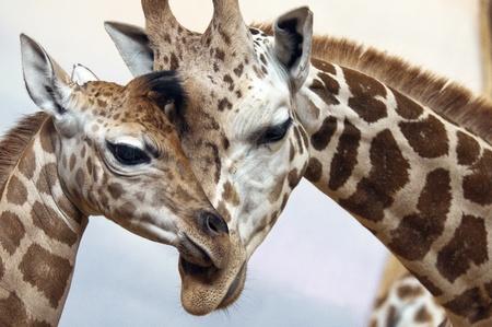 jirafa fondo blanco: Primer plano de una madre cari�osa para los j�venes