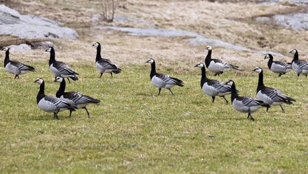 Black geese grazing on the lawn in the park photo