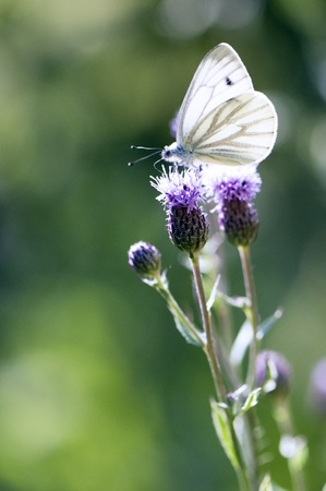 white butterfly: White butterfly sitting on a on thistle flower