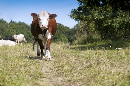 The curious cow on pasture coming to us photo