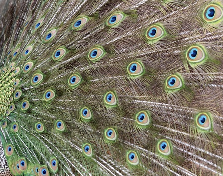 Close-up on the peacocks tail stretched photo