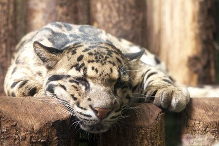 clouded leopard: Sleeping and resting Clouded leopard, close-up on the head Stock Photo