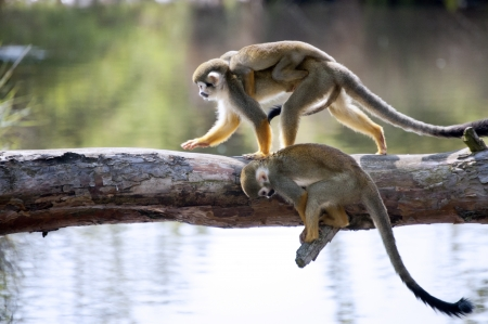 Common squirel monkey crossing the water on the wooden plank photo