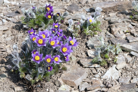 Pasque flower in a sunny day in early spring photo