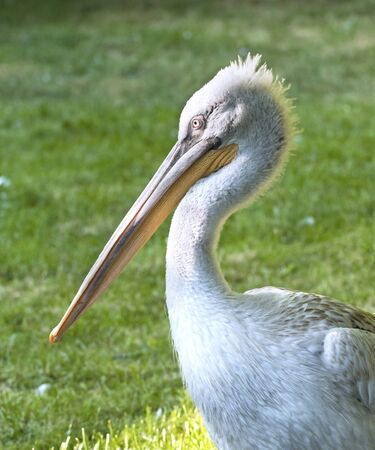 Closeup on the head of Dalmatian Pelican, side view photo