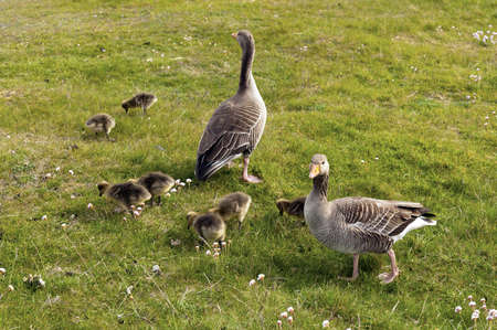 Greylag Geese with chicks on a green lawn Stock Photo - 14228224