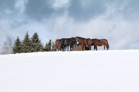 A herd of horses near a pile of hay in the winter photo