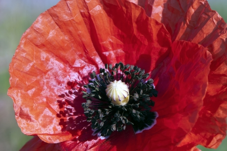 Closeup of the red poppy flower in field photo