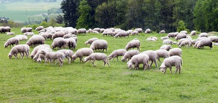 A flock of sheep grazing in the meadow photo