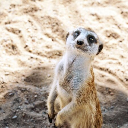 Meerkat watching around, standing on hind legs photo