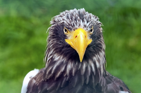 Detail of head - Stellers Sea Eagle photo