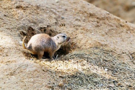 burrows: Black-tailed prairie dog burrows in the sand