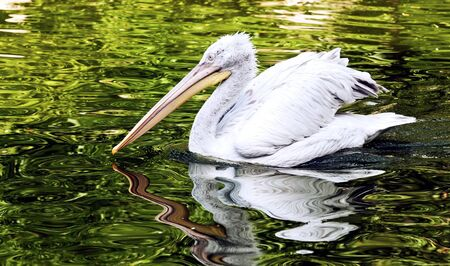 the young Dalmatian pelican floating on water photo