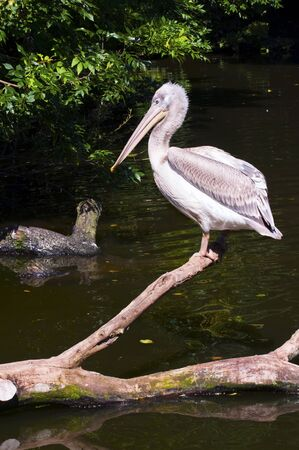 Young Dalmatian Pelican standing on a tree in water photo