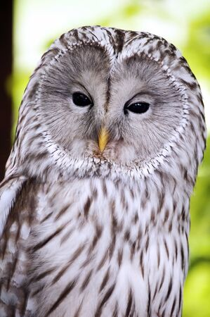 close-up on the head of the Ural Owl photo