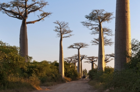 alley of baobabs: The Avenue or Alley of the Baobabs is a prominent group of baobab trees Stock Photo