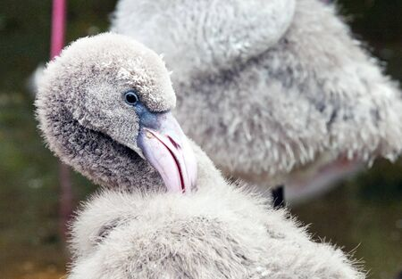Close-up on the head of a young flamingo photo
