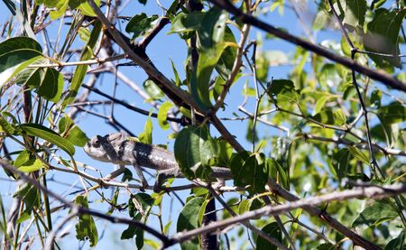 masquerading: The chameleon masquerading on a tree branch Stock Photo