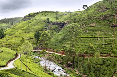 Tea trees on the plantations, Sri Lanka photo