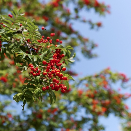 bunchy: Red rowan berries on a tree at the end of the summer