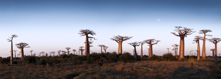baobab: The Avenue or Alley of the Baobabs is a prominent group of baobab trees Stock Photo