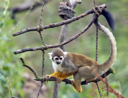 squirrel monkey: The common squirrel monkey (Saimiri sciureus) playing on a branch
