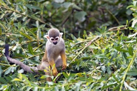 sciureus: The common squirrel monkey (Saimiri sciureus) in the bushes Stock Photo