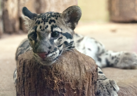The Clouded leopard, close up of face Stock Photo - 16728297
