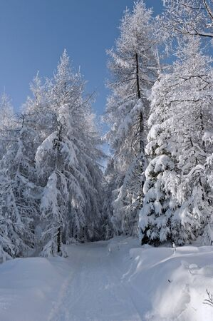Trees covered with snow in the forest  photo