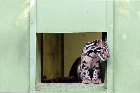 clouded leopard: The young Clouded leopard observing surroundings, zoo