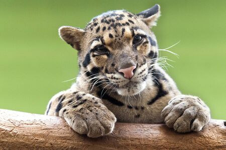 clouded leopard: A clouded leopard resting atop a tree trunk Stock Photo