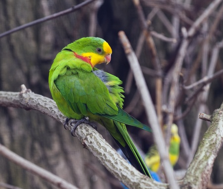 superb: The Superb Parrot (Polytelis swainsonii), also known as Barrabands Parrot, Barrabands Parakeet, or Green Leek Parrot.