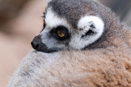 Closeup of the head of a Ring-tailed lemur photo