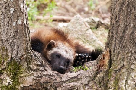 glutton: The wolverine, glutton, carcajou, skunk bear, or quickhatch