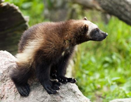 glutton: The wolverine (called also glutton, carcajou, skunk bear, or quickhatch). Stock Photo