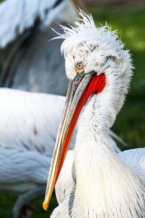 Closeup of the head of a dalmatian pelican photo