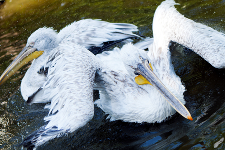 A shot of two pelicans in the water. photo