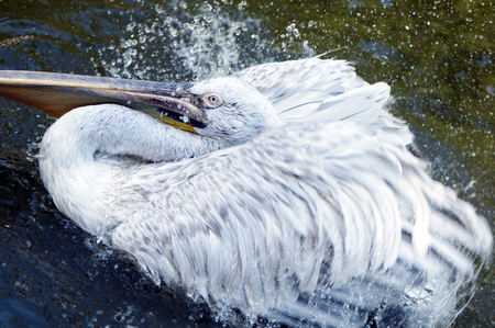 Closeup of a pelican in the water. photo
