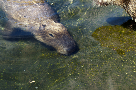 A capybara  Hydrochoerus hydrochaeris  under the water Stock Photo - 24101893
