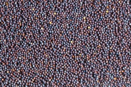 brassica: Brassica nigra  black mustard  seeds  the background