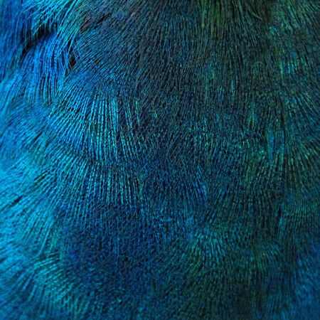 peacock feather: A closeup of the blue feathers of a bird (peacock)